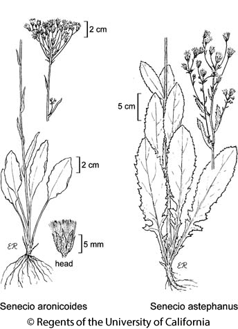 botanical illustration including Senecio astephanus