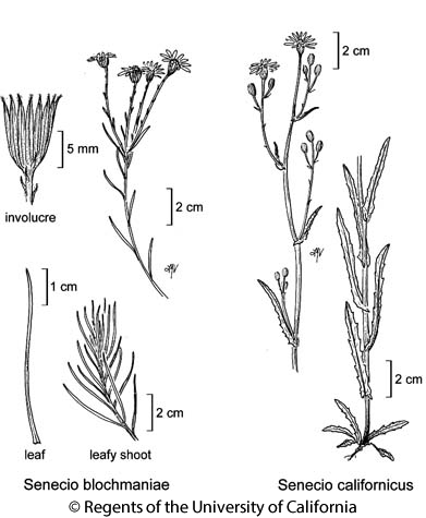 botanical illustration including Senecio californicus