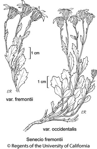 botanical illustration including Senecio fremontii var. fremontii
