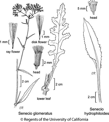 botanical illustration including Senecio glomeratus