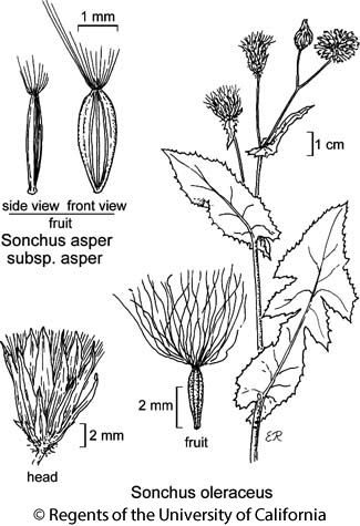 botanical illustration including Sonchus oleraceus