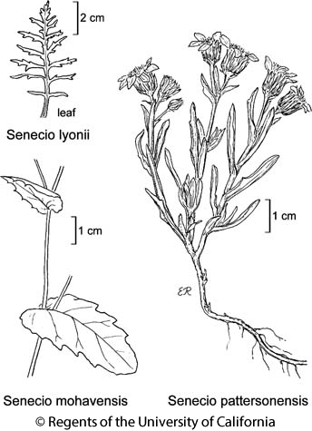 botanical illustration including Senecio lyonii