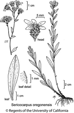 botanical illustration including Sericocarpus oregonensis