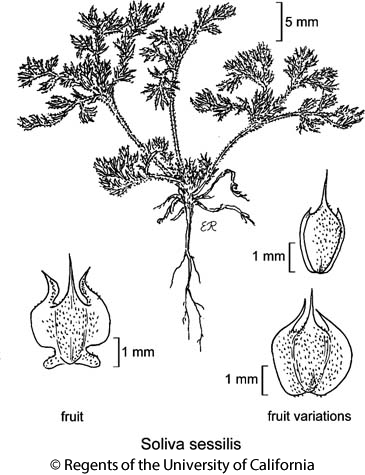 botanical illustration including Soliva sessilis
