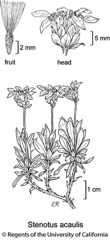 botanical illustration including Stenotus acaulis