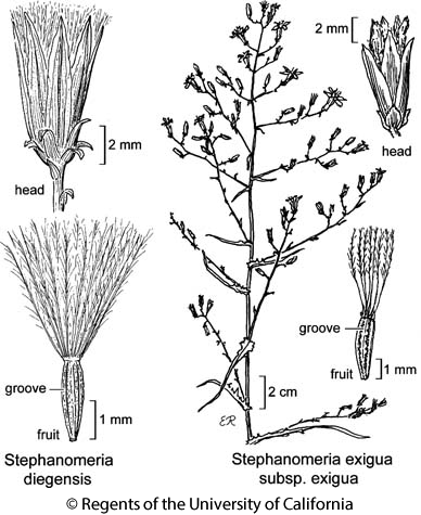 botanical illustration including Stephanomeria exigua subsp. exigua