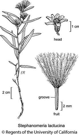 botanical illustration including Stephanomeria lactucina