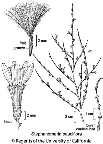botanical illustration including Stephanomeria pauciflora