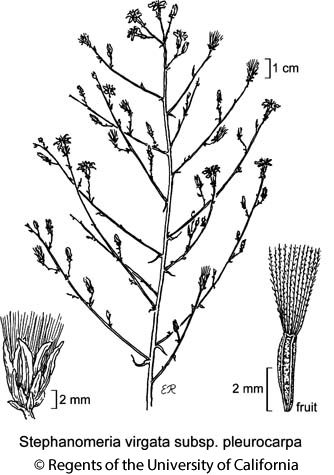 botanical illustration including Stephanomeria virgata subsp. pleurocarpa
