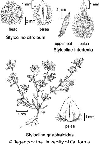botanical illustration including Stylocline citroleum