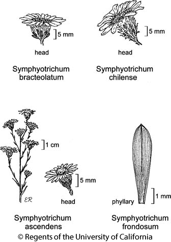 botanical illustration including Symphyotrichum bracteolatum
