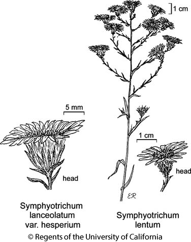 botanical illustration including Symphyotrichum lentum