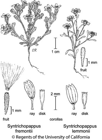 botanical illustration including Syntrichopappus lemmonii