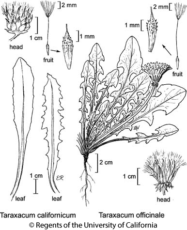 botanical illustration including Taraxacum californicum