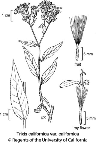 botanical illustration including Trixis californica var. californica