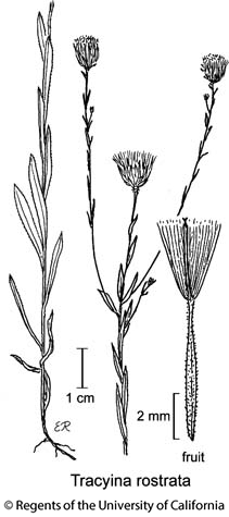 botanical illustration including Tracyina rostrata