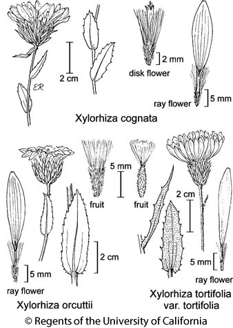 botanical illustration including Xylorhiza orcuttii