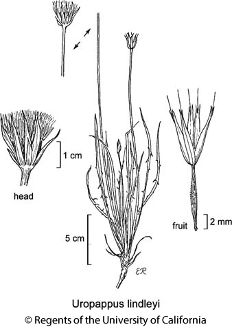 botanical illustration including Uropappus lindleyi