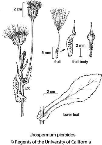 botanical illustration including Urospermum picroides