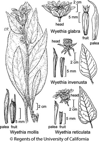 botanical illustration including Wyethia invenusta