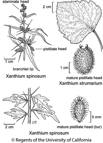botanical illustration including Xanthium spinosum