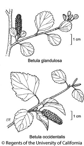 botanical illustration including Betula glandulosa