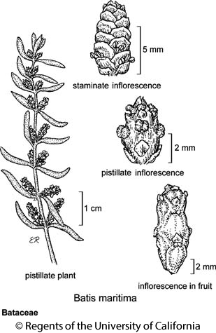 botanical illustration including Batis maritima