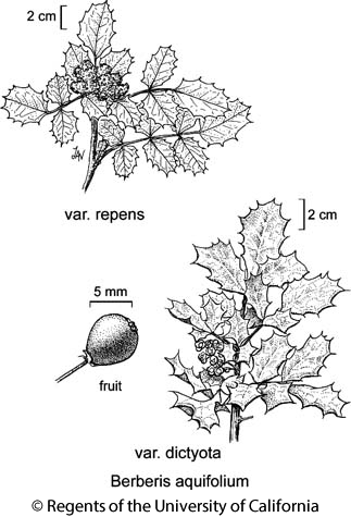 botanical illustration including Berberis aquifolium var. repens