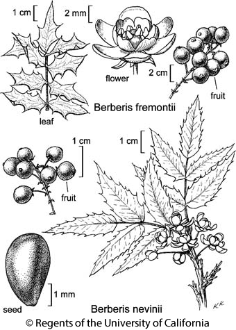 botanical illustration including Berberis fremontii