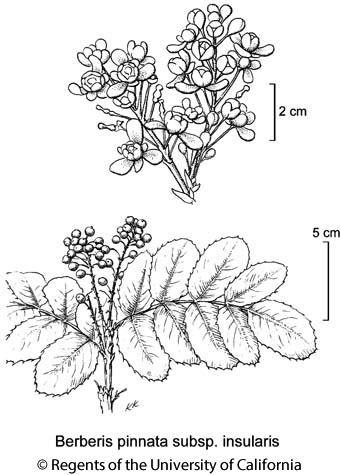 botanical illustration including Berberis pinnata subsp. insularis