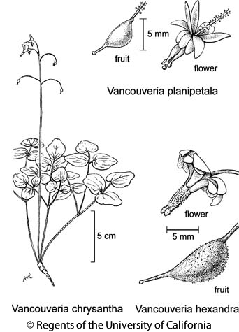 botanical illustration including Vancouveria hexandra