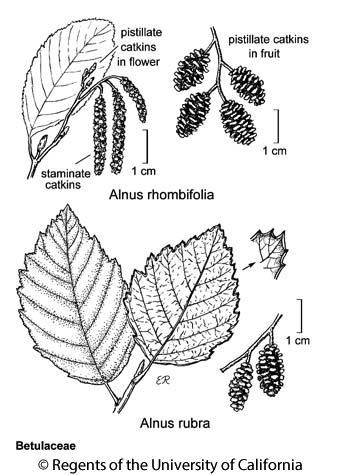 botanical illustration including Alnus rubra