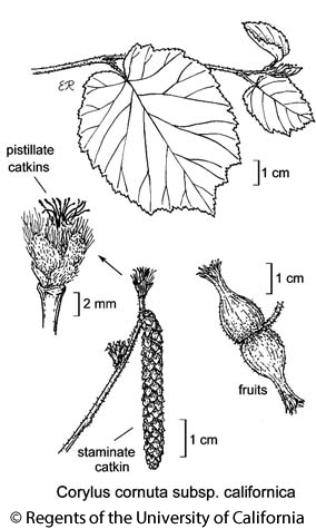 botanical illustration including Corylus cornuta subsp. californica