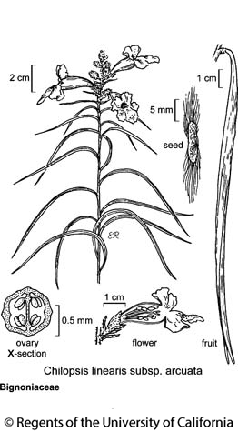 botanical illustration including Chilopsis linearis subsp. arcuata