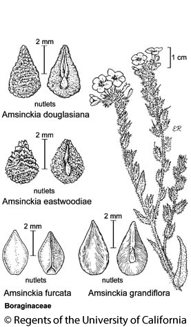 botanical illustration including Amsinckia douglasiana
