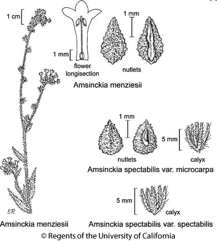 botanical illustration including Amsinckia spectabilis var. spectabilis
