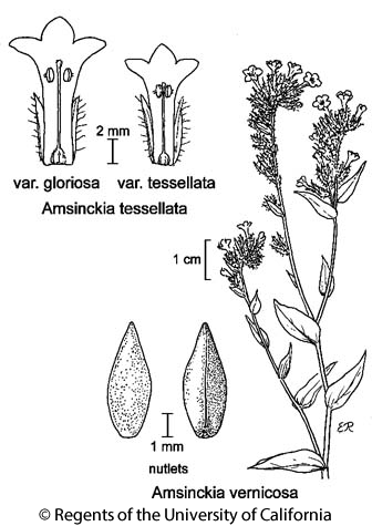 botanical illustration including Amsinckia vernicosa