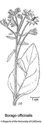 botanical illustration including Borago officinalis
