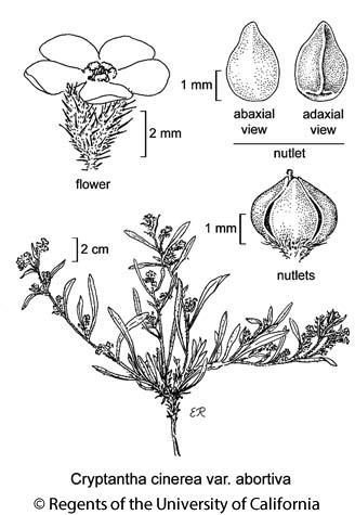 botanical illustration including Cryptantha cinerea var. abortiva