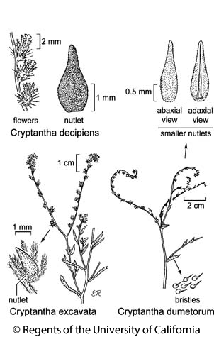 botanical illustration including Cryptantha excavata