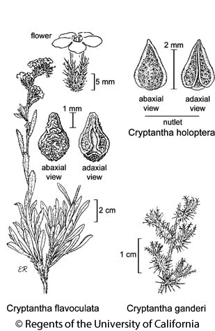 botanical illustration including Cryptantha flavoculata