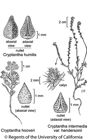botanical illustration including Cryptantha intermedia var. hendersonii
