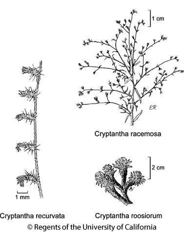 botanical illustration including Cryptantha racemosa