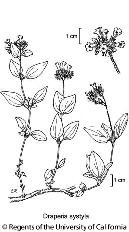 botanical illustration including Draperia systyla