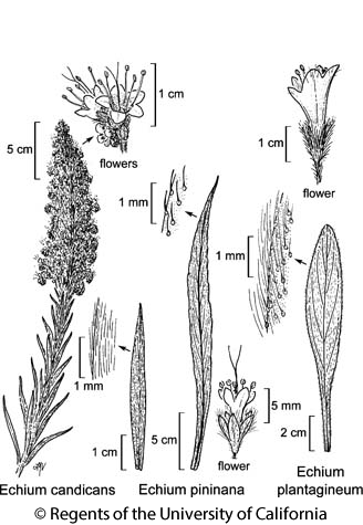 botanical illustration including Echium candicans