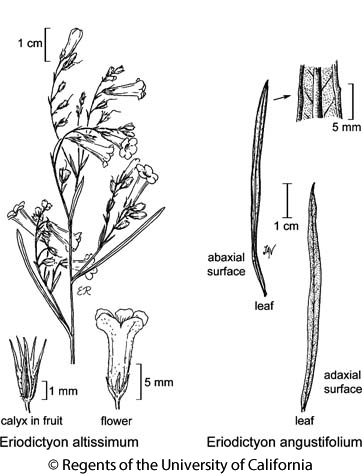 botanical illustration including Eriodictyon altissimum
