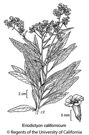 botanical illustration including Eriodictyon californicum