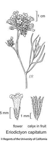 botanical illustration including Eriodictyon capitatum