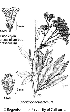 botanical illustration including Eriodictyon tomentosum