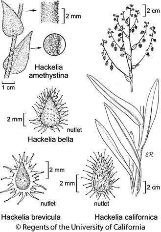 botanical illustration including Hackelia brevicula